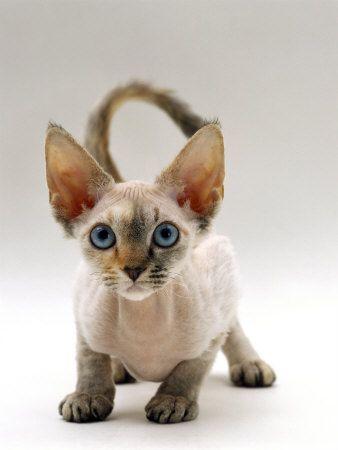 Cute Siamese Kittens Wallpaper Devon Rex On Tumblr