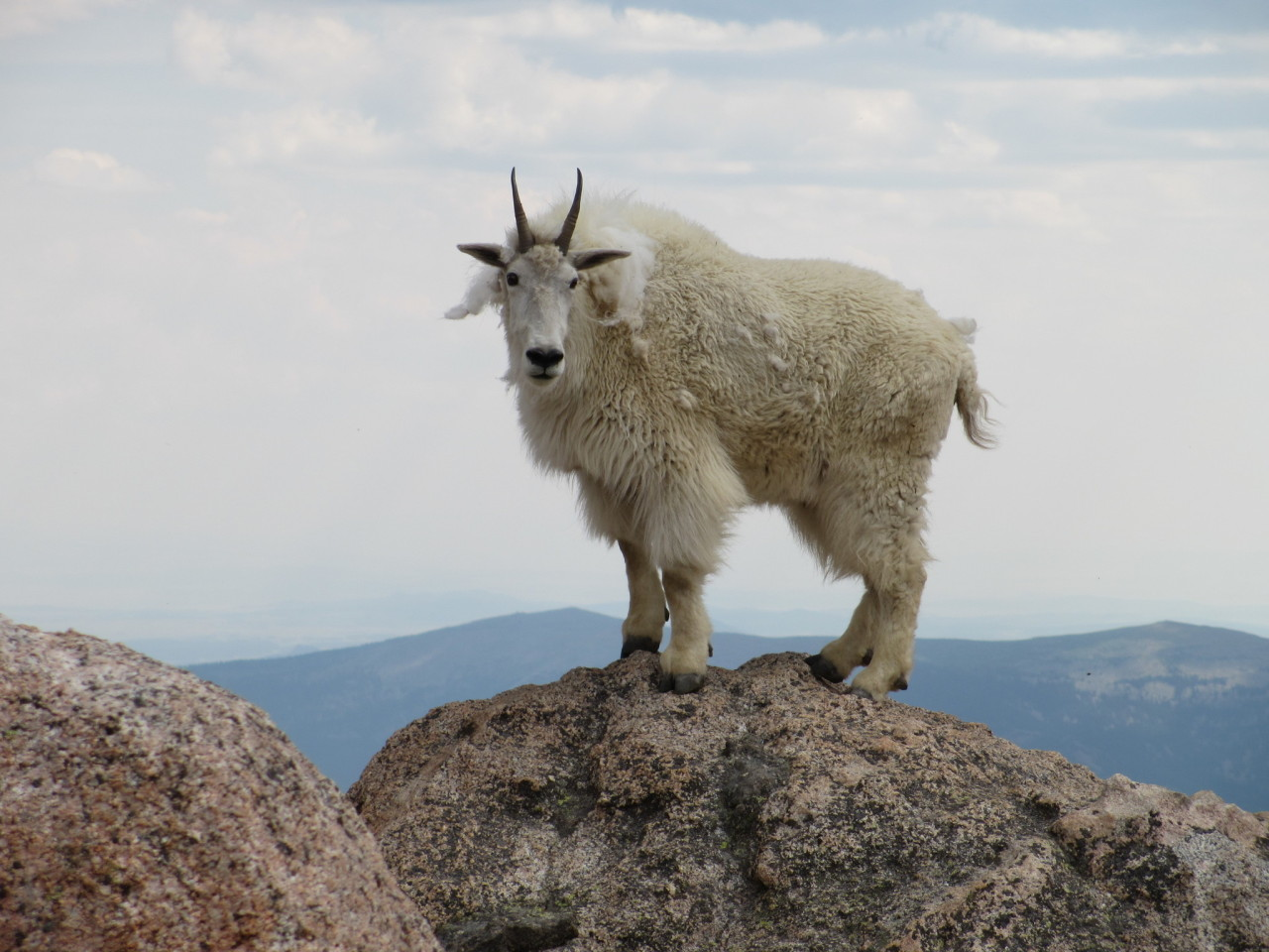 mountain goat molts inat