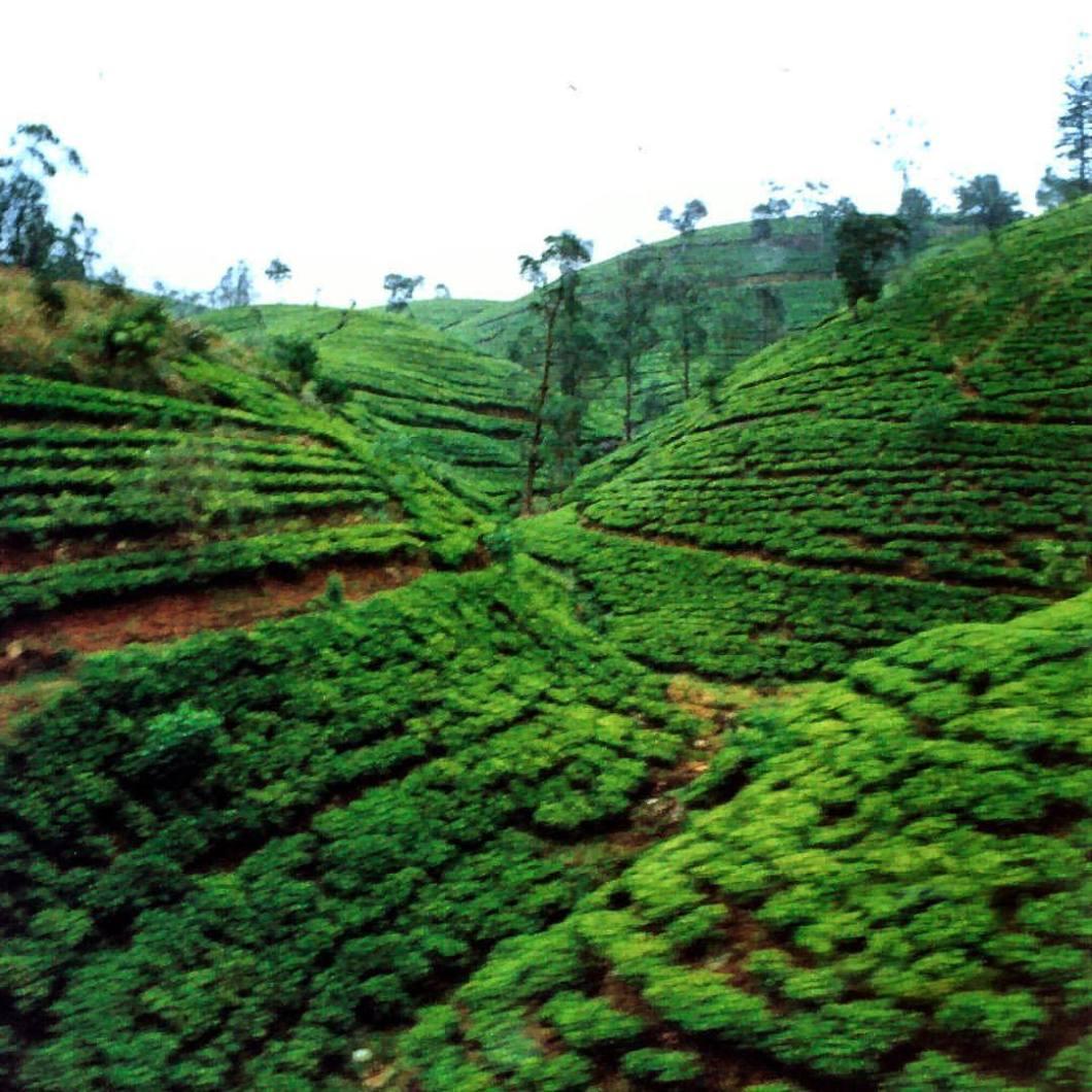 Tea plantages, out of train.Nuwara Eliya, Sri Lanka, 2005..#photooftheday #photography #colorphotography #landscape #landscapephotography #nature #forest #landschaft #landschaftsfotografie #naturephotography #landscapephotography #naturfotografie #tea #teaplantations #teafields #srilanka #asia #nuwaraliya #train #backpacking #travelphotography (hier: Nuwara Eliya Town, Sri Lanka)