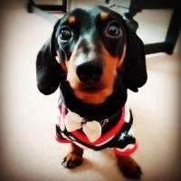 dachshund clothing | Tumblr
