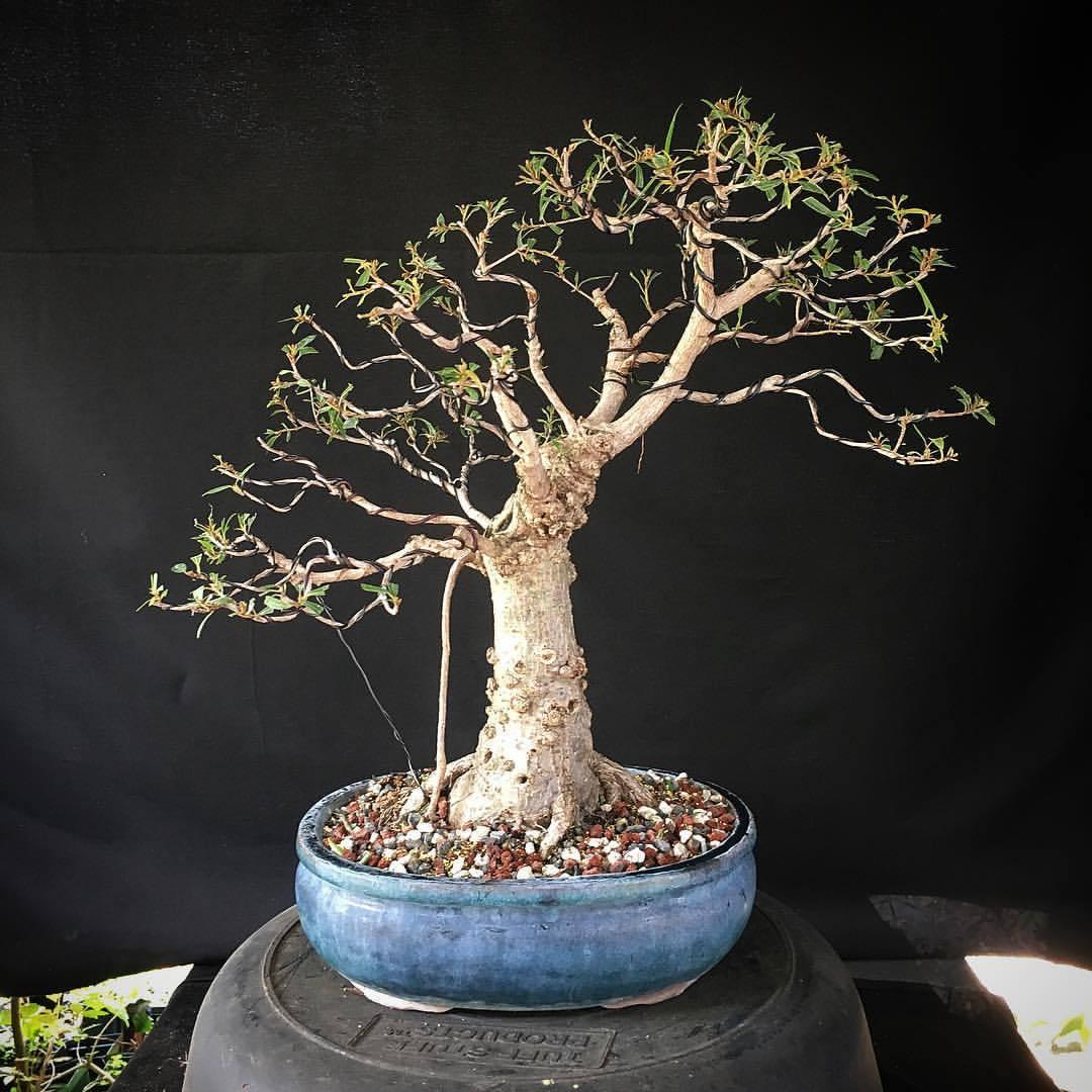 a clients willow leaf ficus second wiring ve bonsai rh bonsai blogflop com Kinds of Trees Deciduous Trees Ficus Bonsai