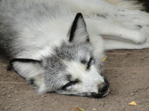 Sleeping Cute Baby Wallpaper Arctic Marble Fox Tumblr