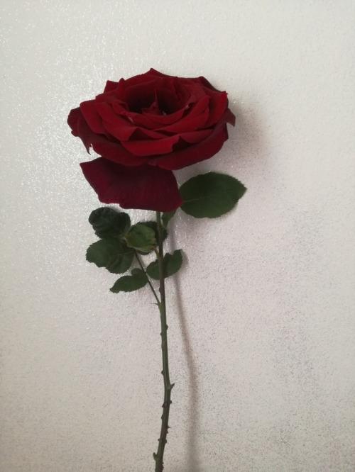 Red Rose On Tumblr
