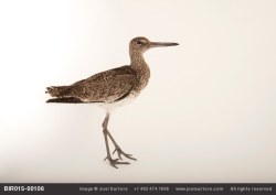 Bird in a box: video of one of our eastern willets by Joel Sartore.Link to video