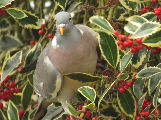 Almost a Christmas card: woodpigeon in berries.