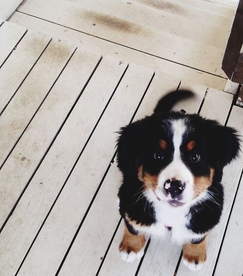 Cute Local Girl Wallpaper Bernese Mountain Dog Mix Tumblr