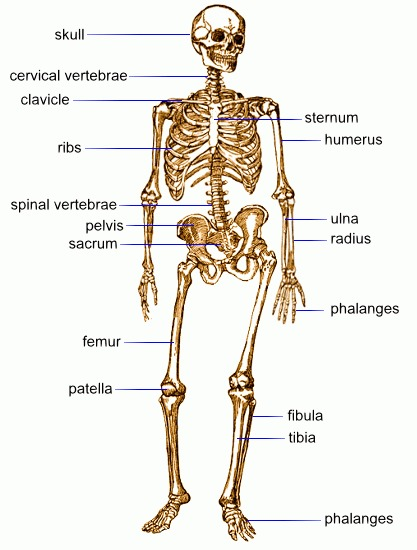 skeletal and muscular system diagram trailer wiring 7 pin 5 wires flat body systems image