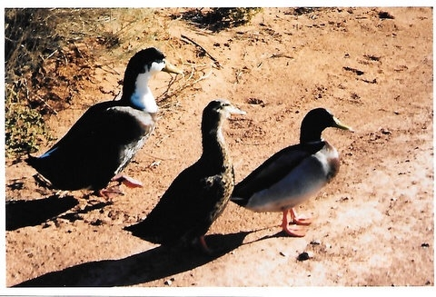 The ducks at Sky Mountain.