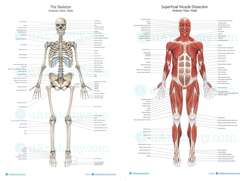 human skeleton and muscles diagram split system wiring with photo 2