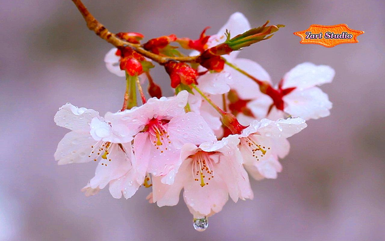 rain drizzles cherry branch