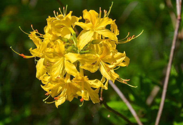Цвітіння азалії
