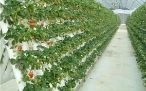http://www.motherfarm.co.jp/harvest/mikaku/strawberry.php