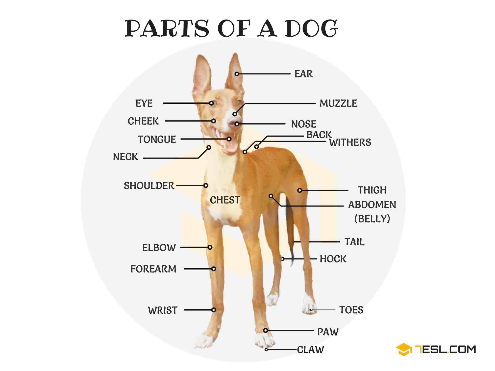 hight resolution of parts of a dog useful dog anatomy with pictures