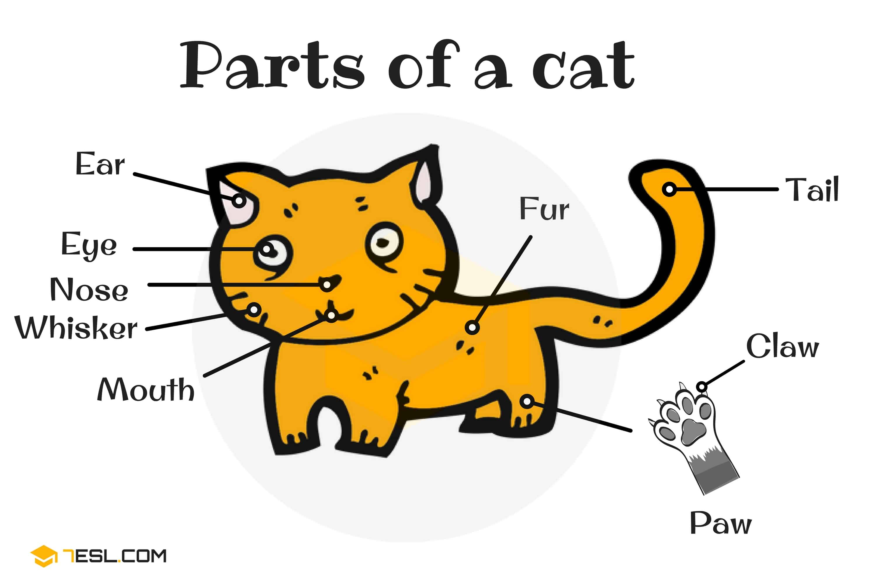 Different Cat Parts Useful Cat Anatomy With Pictures