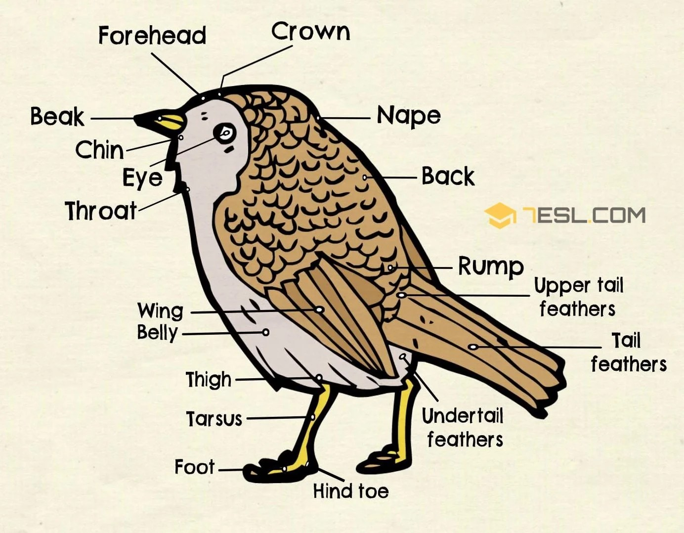 hight resolution of different parts of a bird in english bird anatomy