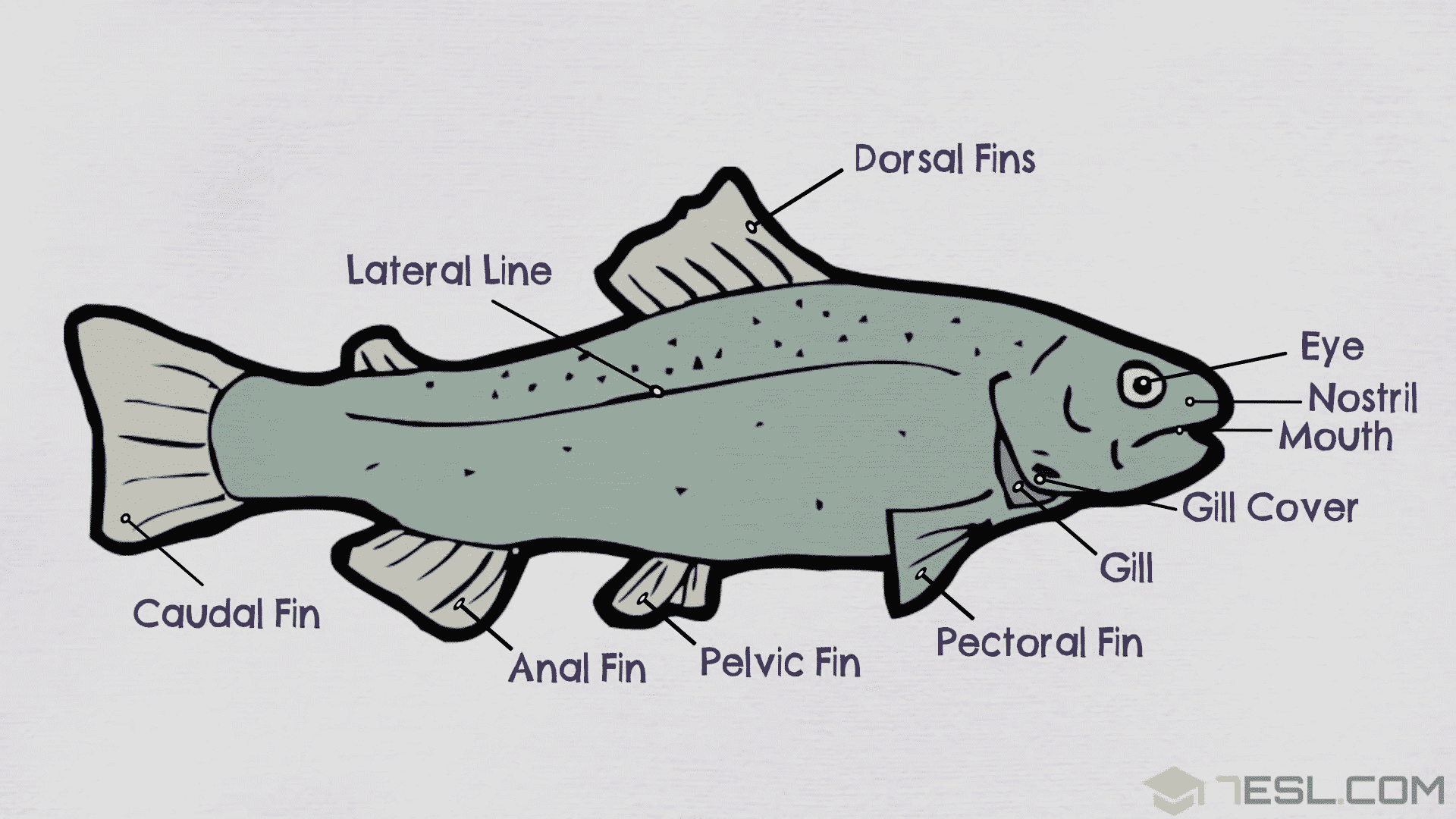 Parts Of A Fish Useful Fish Anatomy With Pictures