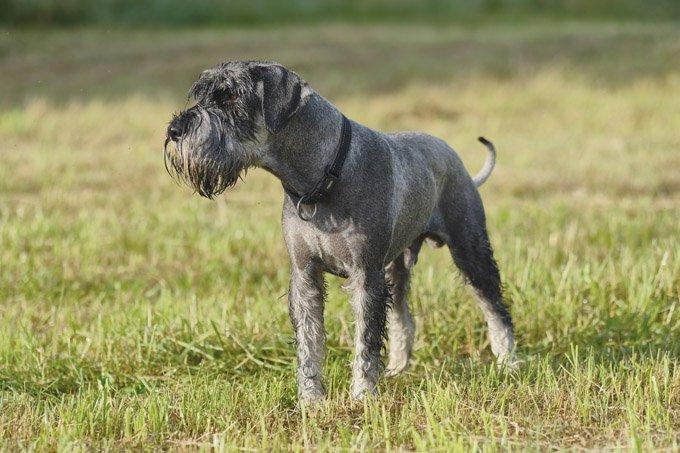 standard-schnauzer-dogs