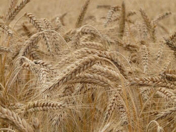 Рязанские аграрии собрали 1,5 млн. тонн зерна