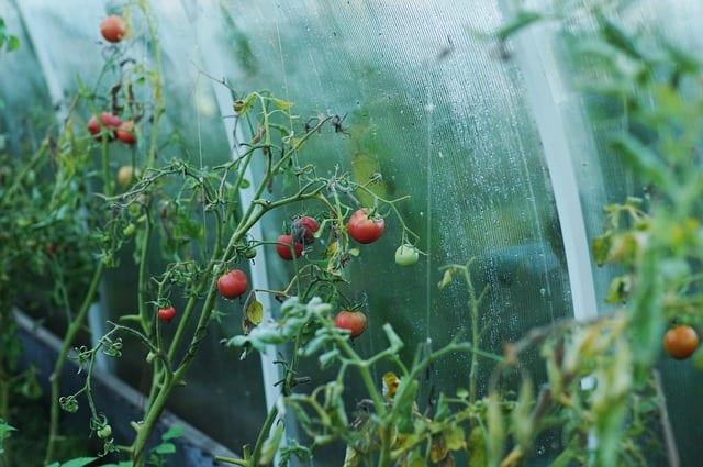 Житель Касимова выращивал коноплю в теплице
