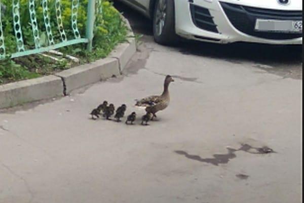 Утиное семейство сфотографировали практически в центре Рязани