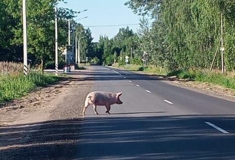 Свинья прогулялась по проезжей части в Варских