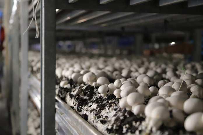 В Рязани наращивает мощности завод по выращиванию шампиньонов