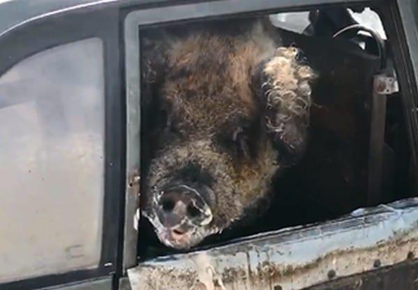 Видео: в Михайлове огромную свинью перевозят на пассажирском сидении легковушки