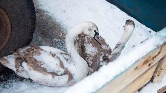 В рязанском селе остались зимовать лебеди