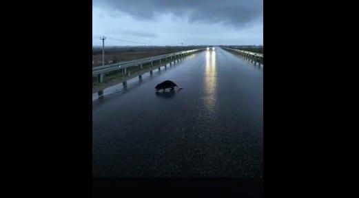 Под Рязанью сняли на видео перебегающего дорогу бобра