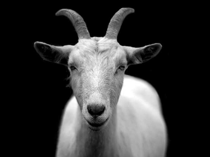 В Рыбновском районе коза заболела бешенством