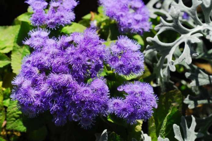 Какие комнатные цветы можно пересадить на лето в уличные кашпо?