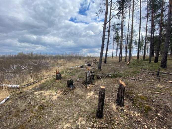 Военная прокуратура провела проверку по факту вырубки деревьев в Сельцах