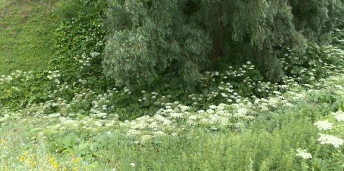 Коммунальщики объявили войну борщевику, который захватил рязанский парк