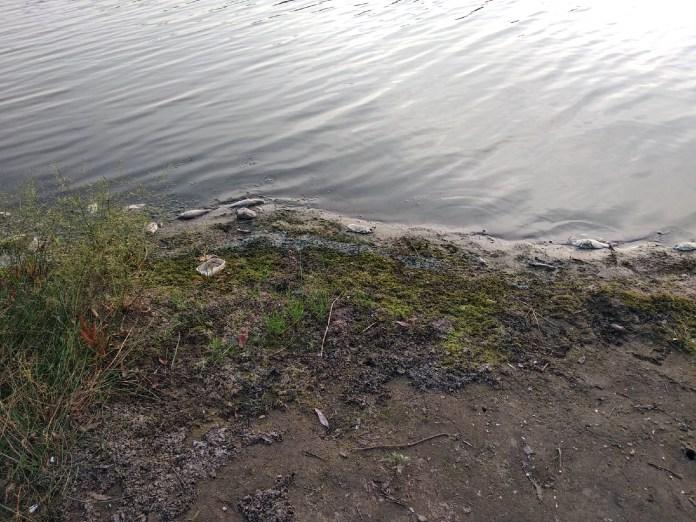 В реке под Рязанью умерла рыба