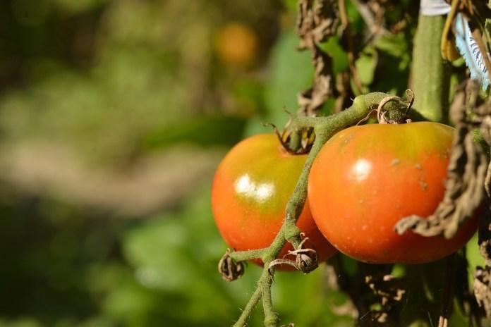 Как использовать ботву томатов на участке