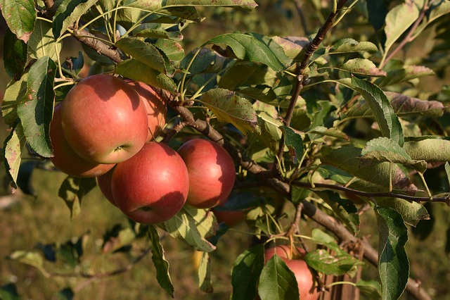 Как ухаживать за яблонями после сбора урожая