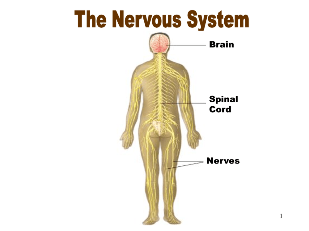 medium resolution of diagram of spinal nerve system