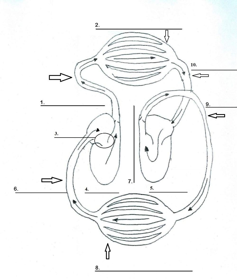 medium resolution of cardiovascular system heart diagram blank