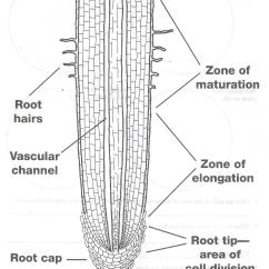 Plant Root Hair Diagram 2003 Dodge Ram Headlight Switch Wiring The Gallery For Gt Cell Labeled
