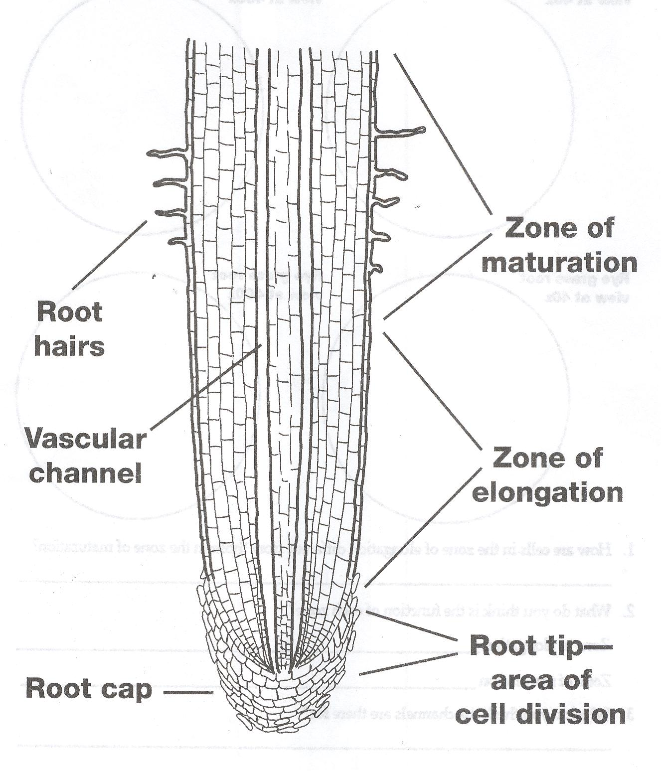 onion cell diagram wiring for three way switch with multiple lights of an root tip longitudinal section