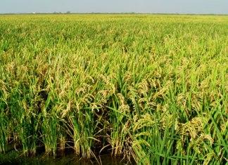 arrozales