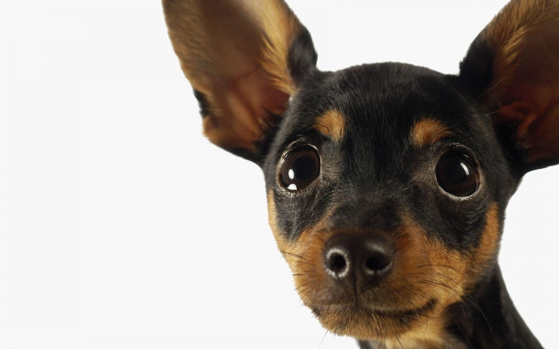 Cute Pitbull Puppies Wallpapers Miniature Pinscher Hd Wallpapers 7wallpapers Net