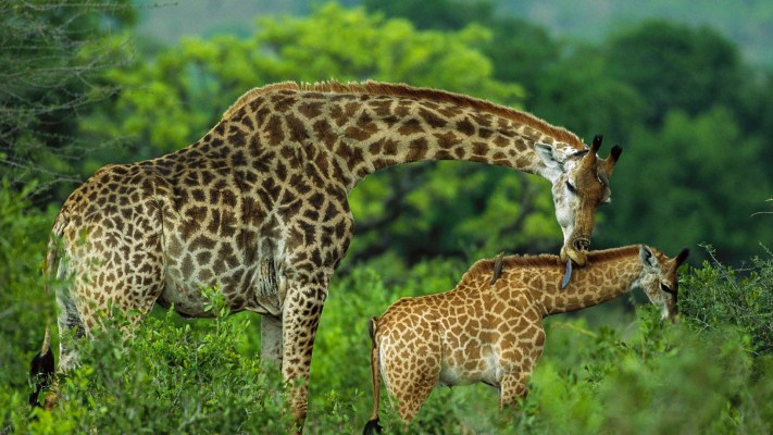 arusha-national-park-destinations-tanzania-maasai-wanderings-africa-giraffe