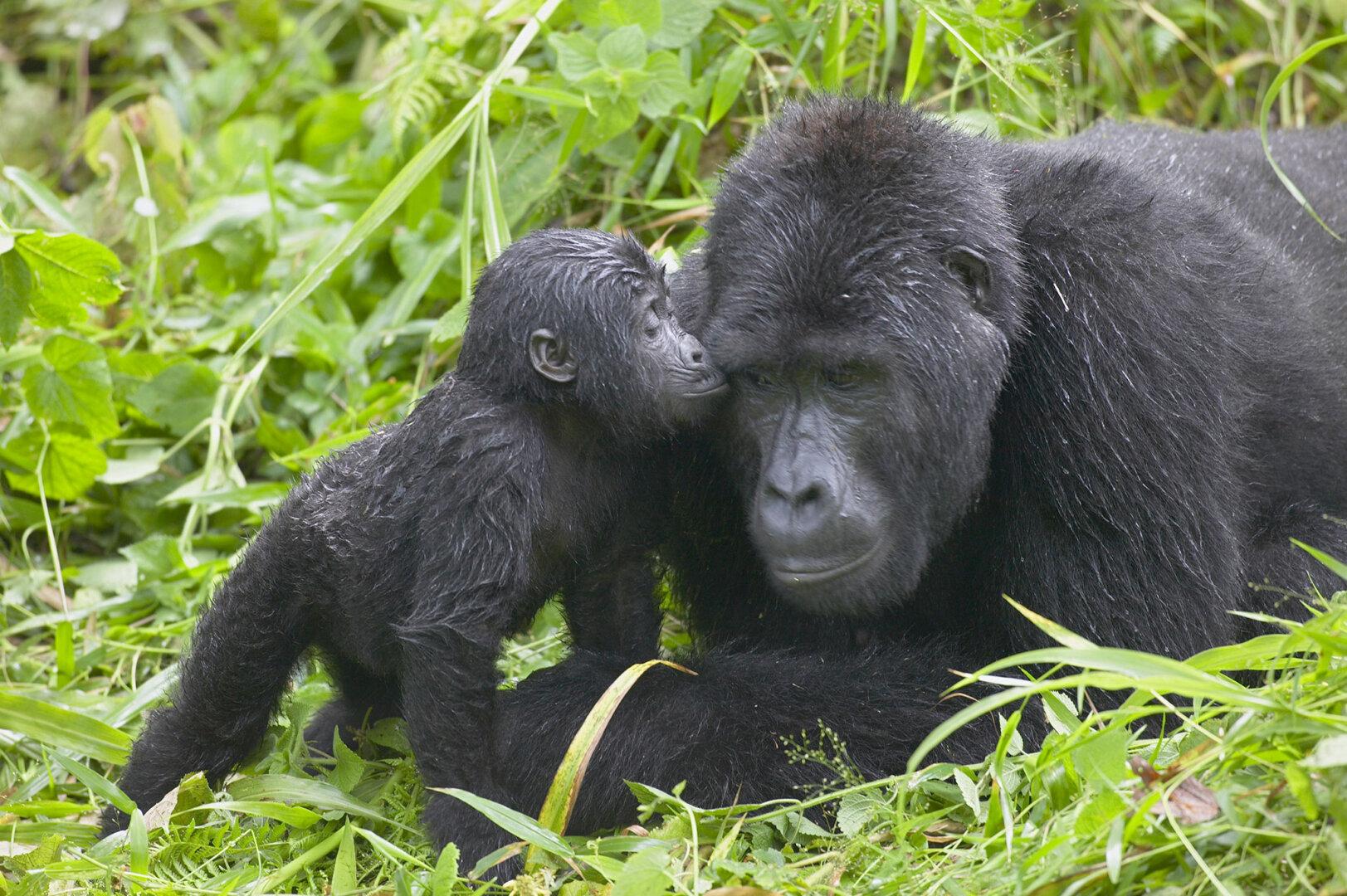 gorilla-trekking-uganda-adult-infant