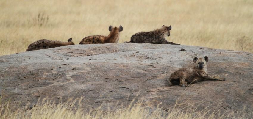 hyaenas in serengeti