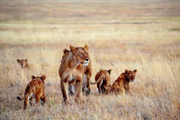 1-serengeti-national-park-tanzania-Lioness