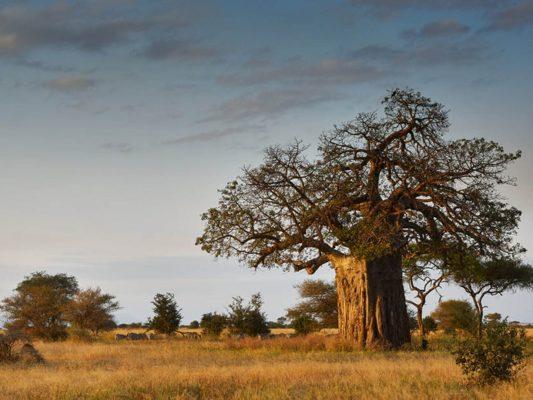 Baobab Tree Tarangire