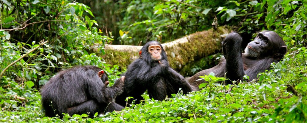 Chimp-Trekking-in-kibale-forest