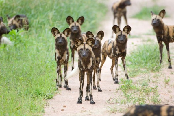 Ruaha-national-park wilddogs
