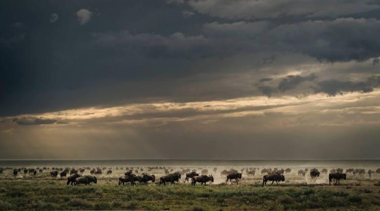 Herd o Wildebeest Serengeti National Park